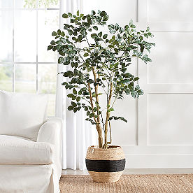Wild Coffee Panax Tree