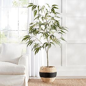 Eucalyptus Leaf Tree