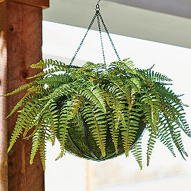 Fancy Fern Hanging Basket