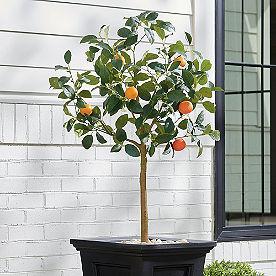 Tangerine Tree, 4'
