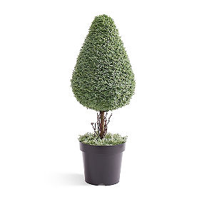 Single Cone Sage Topiary