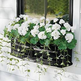 White Geranium Window Box Filler